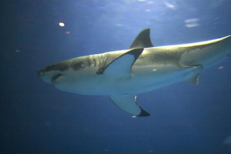 Tiburón Blanco en acuario. Foto de Wikipedia por Brocken Inaglory